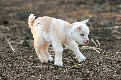 Baby goats are cute, so that's ok